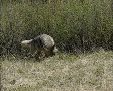 Coyote (canis latrans) catching a prey, a ground squirrel Stock Footage