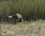 Stock Video Footage of Coyote (canis latrans) catching a prey, a ground squirrel