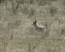 Coyote (canis latrans) standing in prairie Stock Footage