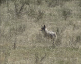 Stock Video Footage of Coyote (canis latrans) standing in prairie