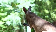 Kangaroo in Australia Stock Footage