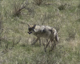 Stock Video Footage of Coyote (canis latrans) roaming across the prairie