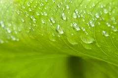 Wet Green Leaves in a Garden with raindrop Stock Photos