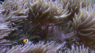 Stock Video Footage of Clown Fish in the anemone tentacles