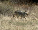 Stock Video Footage of Coyote (canis latrans) roaming across prairie looking for a prey - tracking shot
