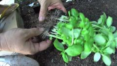 Planting Basil Seedlings Stock Footage