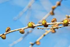 cones on larch tree twig with blue spring sky - stock photo