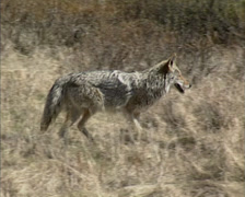 Coyote (canis latrans) trotting across prairie - tracking shot - stock footage