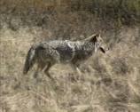 Stock Video Footage of Coyote (canis latrans) trotting across prairie - tracking shot