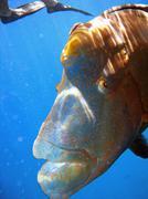 Humphead Maori Wrasse fish, Australia - stock photo