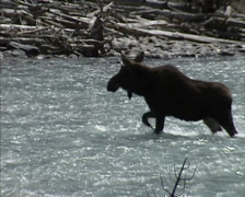Alces alces shirasi, Moose crossing river - side view Stock Footage