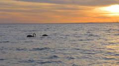 Golden sunset - slow motion 2 black swans swim at brighton beach ocean Stock Footage