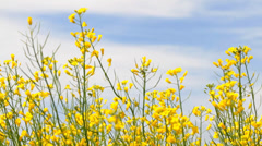 Rapeseed Flowers Blossoms of  on the blue sky Stock Footage