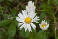 Daisy Flowers in a Garden Stock Photos
