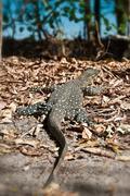 Monitor Lizard in the Whitsundays Stock Photos