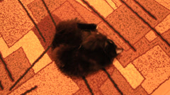 Black cat lolling about on the carpet Stock Footage