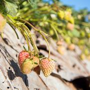 Stock Photo of strawberry garden at doi angkhang mountain, chiangmai : thailand