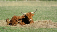 Stock Video Footage of Scottish highland cattle