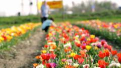 Couple in tulip field Stock Footage