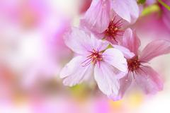 Spring border or background with pink blossom Stock Photos
