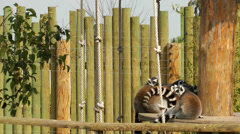 Lemur Family in the wood House - stock footage