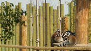 Stock Video Footage of Lemur Family in the wood House