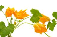 Stock Photo of Squash flower and leaves isolated on white