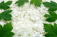 Guelder rose blossoms and leaves - background Stock Photos