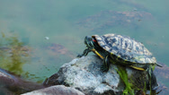 Stock Video Footage of Turtle on the stone