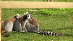 Lemur on the Grass - stock footage