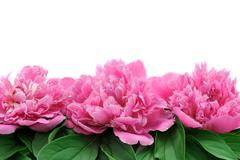 Peony over white background Stock Photos