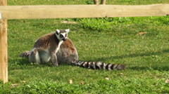 Lemur on the Grass Stock Footage
