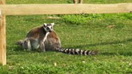Stock Video Footage of Lemur on the Grass