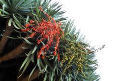 Fauna of Madeira - Dragon tree,  Dracaena draco - stock photo