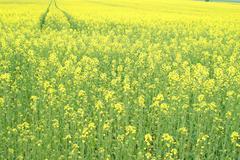 yellow oilseed rape scenery - stock photo