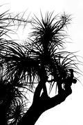 Old Nolina recurvata Hemsl. -  silhouette Stock Photos