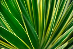 Close up of Yucca - stock photo