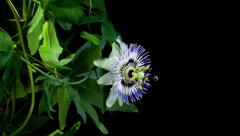 Passiflora flower blooming timelapse Stock Footage