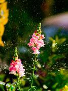 Flower and sprinkler Stock Photos