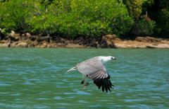 white-bellied sea eagle hunting, langkawi island, malaysia - stock photo