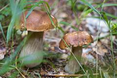 Boletus Mushroom, Dolomites - stock photo
