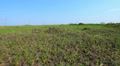 Rural steppe with  green grass . Stabilized  animal view landscape. Footage