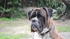 Boxer portrait Stock Footage