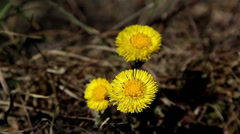 Three flowers of coltsfoot plant Stock Footage