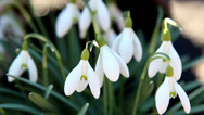 A galanthus plant budding Stock Footage