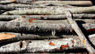Set of firewoods lying on the ground Stock Footage