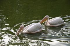 Two white pelicans Stock Photos