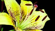 Stock Video Footage of yellow lily close up blooming timelapse