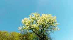 blossoming fruit trees, a pear and a flying bee around the flowers - stock footage