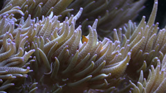 Clown Fish in anemone tentacles Stock Footage